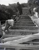 Harvesting English walnuts in Orange, in the vicinity of Chapman Ave. and North Main St. where there were walnut orchards. Neg shows worker spreading walnuts on screens to air dry.