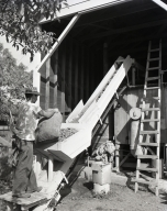 Harvesting English walnuts in Orange, in the vicinity of Chapman Ave. and North Main St. where there were walnut orchards. Neg shows worker dumping bags of walnuts into an elevator that sent them to size-sorting conveyors after which they were tumbled with sand to clean the shells. Then, a diamond brand was stamped on the shell by a roller.