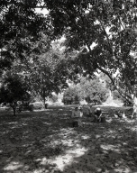 Harvesting English walnuts in Orange, in the vicinity of Chapman Ave. and North Main St. where there were walnut orchards. Shown here are pickers picking up walnuts after they were shaken from trees, and removing the husks.