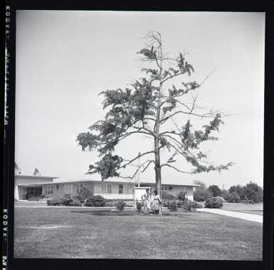 2 negs (on 1 strip) show Santa Ana College gingko tree. (June 13)