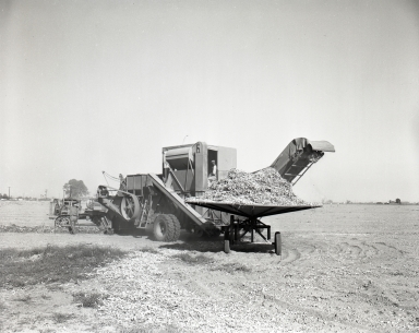 Field scene of the harvest of tomatoes/lima beans. (Threshing machine pictured).