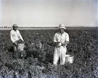 Field scene of the harvest of tomatoes/lima beans. (Pictured: two Mexican men picking red peppers).