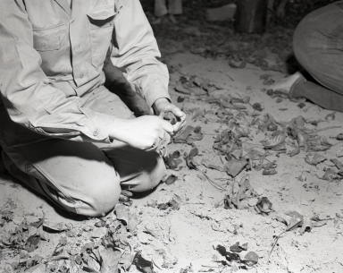 Harvesting English walnuts in Orange, in the vicinity of Chapman Ave. and North Main St. where there were walnut orchards. This is a close-up of pickers removing the husks.