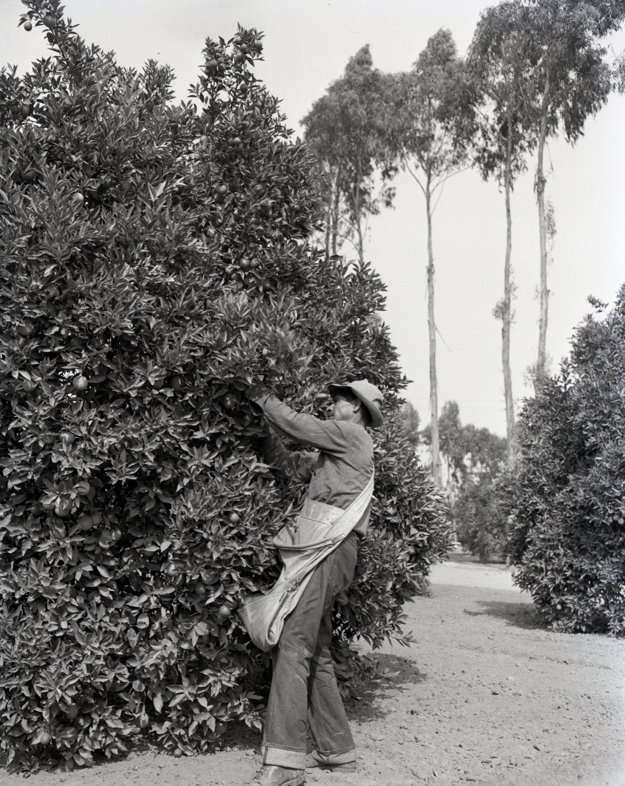 Field scene of the harvest. A man with a shoulder sack picking oranges.